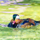 Male Mandarin Duck - PhotoDune Item for Sale