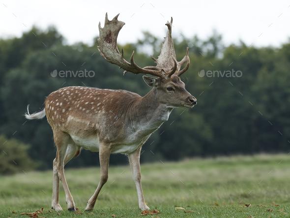 Fallow deer (Dama dama) - Stock Photo - Images