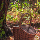 Picnic basket in an autumn forest in sunlight with copy space - PhotoDune Item for Sale