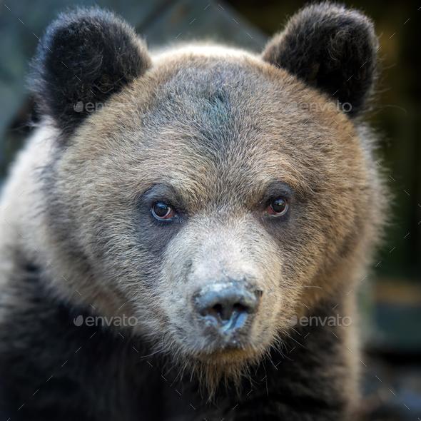 Close up bear cub portrait - Stock Photo - Images