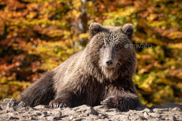 Bear (Ursus arctos) in autumn forest - Stock Photo - Images