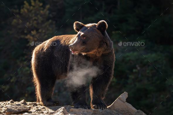 Bear (Ursus arctos) in autumn forest - Stock Photo - Images