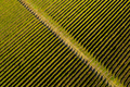 Aerial view of vineyard in late afternoon lights - PhotoDune Item for Sale