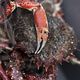 A fresh spider crab on a fishermonger stall - PhotoDune Item for Sale