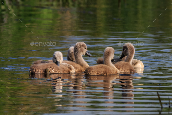 swan chicks on the lake - Stock Photo - Images