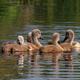 swan chicks on the lake - PhotoDune Item for Sale