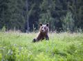 Brown bear - PhotoDune Item for Sale