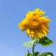 Sunflower on the blue sky background - PhotoDune Item for Sale