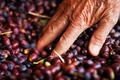 Black olives harvest - PhotoDune Item for Sale