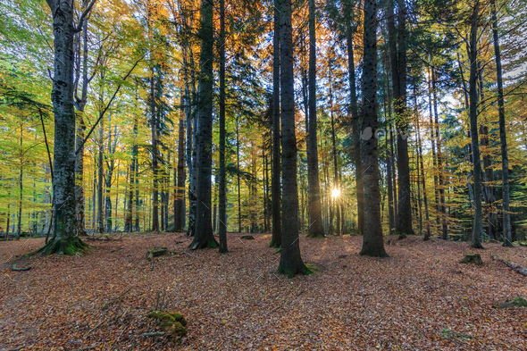 sunrise in forest - Stock Photo - Images