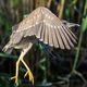 juvenile of black crowned night heron (Nycticorax nycticorax) - PhotoDune Item for Sale