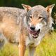 Large male grey wolf standing in a field in the forest - PhotoDune Item for Sale