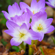 Nice dewy flowers in the autumn (Colchicum autumnale) - PhotoDune Item for Sale