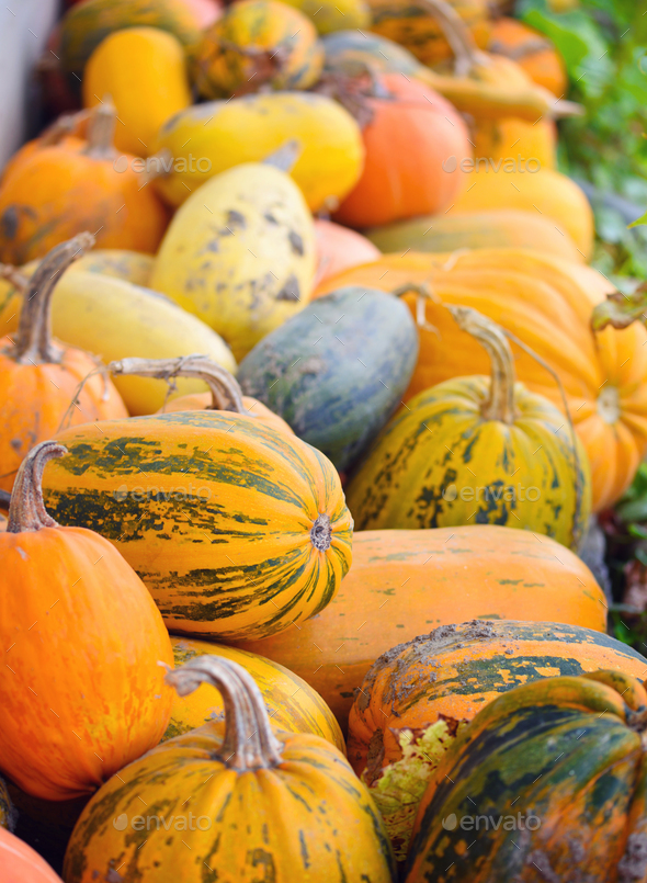 Harvest pumpkins. Different varieties of squashes and pumpkins - Stock Photo - Images
