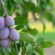 Juicy Ripe Sweet Food Fruit Plums on the Vine - PhotoDune Item for Sale