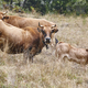 Cow and bull in the countryside. Cattle, livestock. Mammal - PhotoDune Item for Sale