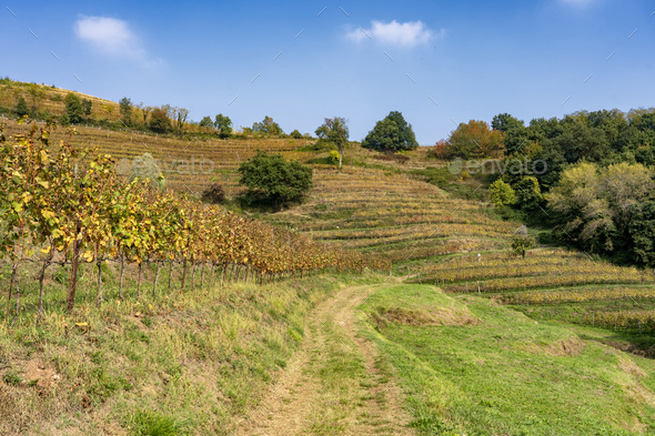 Vineyards in the Park of Curone at fall - Stock Photo - Images