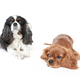 Two spaniels isolated on white - PhotoDune Item for Sale