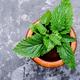 Melissa leaf or lemon balm - PhotoDune Item for Sale