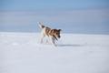 Dog in snow - PhotoDune Item for Sale