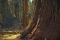 Ancient Giant Sequoia Tree - PhotoDune Item for Sale