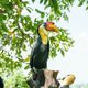 Sunda Wrinkled Hornbill in Thailand - PhotoDune Item for Sale
