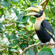 Great Hornbill in Thailan - PhotoDune Item for Sale