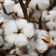 Boxes of cotton on bushes - PhotoDune Item for Sale