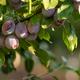 Juicy Ripe Sweet Food Fruit Plums on the Vine - PhotoDune Item for Sale