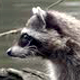 Raccoon at Forest Lake - 01 - 4K - VideoHive Item for Sale