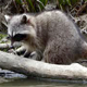Raccoon at Forest Lake - 05 -4K - VideoHive Item for Sale
