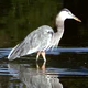 Heron Catching Fish - VideoHive Item for Sale