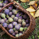 After picking Autumn figs in the garden - PhotoDune Item for Sale