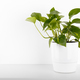 Pothos plant - PhotoDune Item for Sale