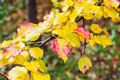 yellow leaves of apple tree close up in garden - PhotoDune Item for Sale