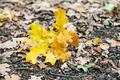fallen yellow oak leaves in leaf litte in autumn - PhotoDune Item for Sale