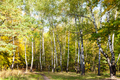 footpath on meadow in birch grove in forest - PhotoDune Item for Sale