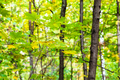 green and yellow maple leaves on twig in forest - PhotoDune Item for Sale