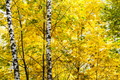 birches in yellow leaves of maple tree in forest - PhotoDune Item for Sale