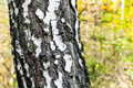 birch tree trunk close up in autumn forest - PhotoDune Item for Sale