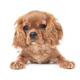 Puppy of king charles cavalier spaniel isolated on white - PhotoDune Item for Sale