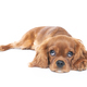 Lying puppy of king charles cavalier spaniel isolated on white - PhotoDune Item for Sale