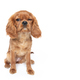 Puppy of king charles cavalier spaniel with funny face isolated on white - PhotoDune Item for Sale
