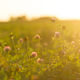 Clover field in the sun - PhotoDune Item for Sale