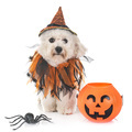 maltese dog and halloween - PhotoDune Item for Sale