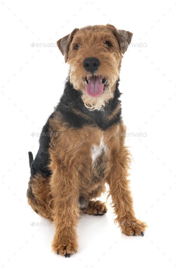 welsh terrier in studio - Stock Photo - Images