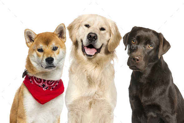 Labrador, Shiba Inu wearing a red scarf, Golden Retriever, in front of white background - Stock Photo - Images