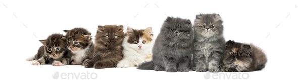 Highland straight and fold kittens, Maine coon kittens, Persian kittens - Stock Photo - Images