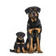 Rottweiler, 18 months old and 3 months old, in front of white background - PhotoDune Item for Sale
