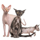 Sphynx cat with two Lykoi kittens, in front of white background - PhotoDune Item for Sale